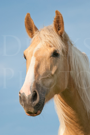 """Portrait picture of a handsome and slightly windblown palomino paint horse, """"Beau"""", a Tennessee Walker."""