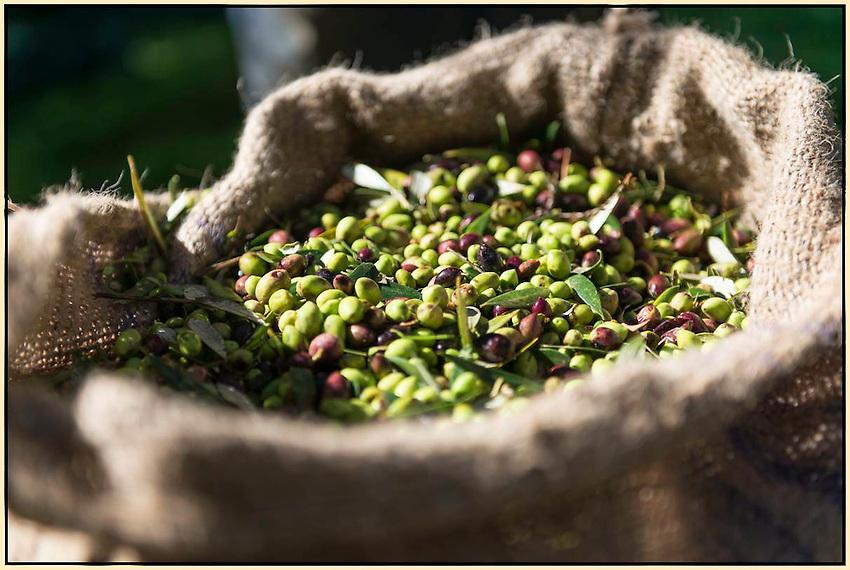 Bagging olives in Crete