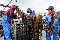 The wakame is winched up onto the dock and cut off the ropes, harvesting wakame at dawn, Awata fishing port, Naruto, Tokushima Prefecture, Japan, February 4, 2012.