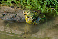 510440047 a wild female painted bunting passerina ciris bathes in a small pond on a private ranch in the coastal bend area of texas