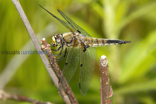 Male Four-spotted Skimmer Dragonfly (Libellula quadrimaculata), Pennsylvania, USA