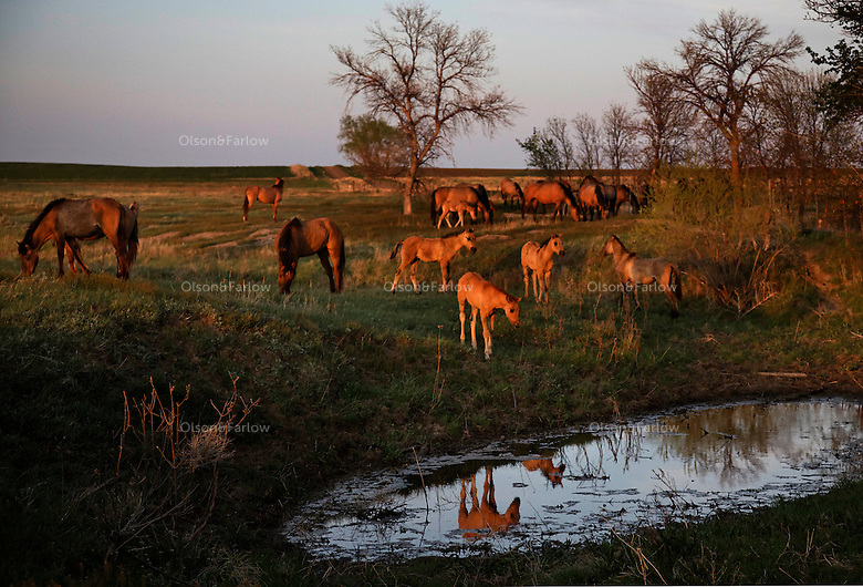 Curious foals are drawn to a waterhole in South Dakota causing a mirrored reflection. <br /> The Gila herd was saved by the International Society for the Protection of Mustangs and Burros. Three herds are  cared for at the oldest wild horse organization founded in 1960.  Karen Sussman is the third president, . Wild Horse Annie, Velma Johnston, was the first. Annie, along with Helen Reilly worked together for the passage of the 1971 Wild Horses and Burros Act to protect horses from slaughter and inhumane treatment.