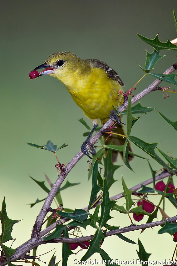 Orchard Oriole feeding on Agarita berry