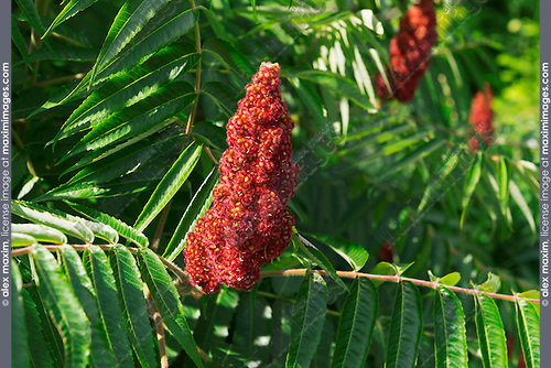 Staghorn Sumac bob closeup on a tree. Ontario, Canada.