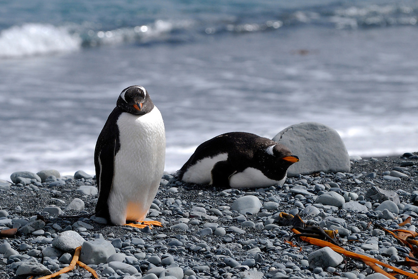I'm stuck between a rock and a penguin - Gentoo penguins Macquarie Island