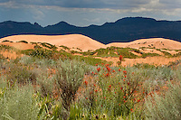 738900011 mountains and dunes framed by wild flowering zion paintbrush castilleja scabrida in coral pink sand dunes state park utah
