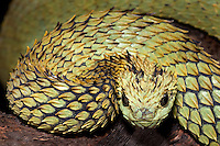 Hairy Bush Viper (Atheris hispida), captive.