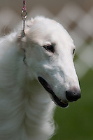Borzoi showing at a dog show in upstate, NY.