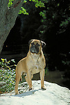 Bull Mastiff<br />