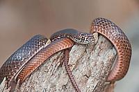 414130003 a wild juvenile eastern coachwhip masticophis flagellum coils on a fallen tree near boykin springs jasper county texas united states