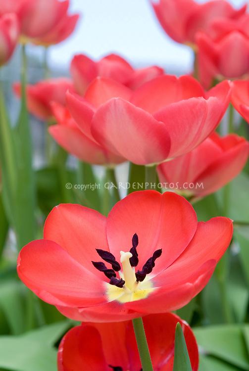 Tulip Toronto tulipa red tulips