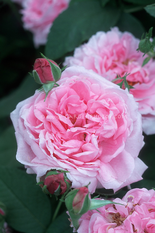 Rose 'Bishop's Castle' medium pink David Austin Rose in flowers and buds