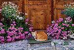 A domestic cat waits to be let in, Guarda village, Bernina Region, Switzerland.