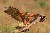 541950084 a wild adult harris hawk parabuteo unicinctus flares for a landing on a dead snag on a private ranch in the rio grande valley of south texas