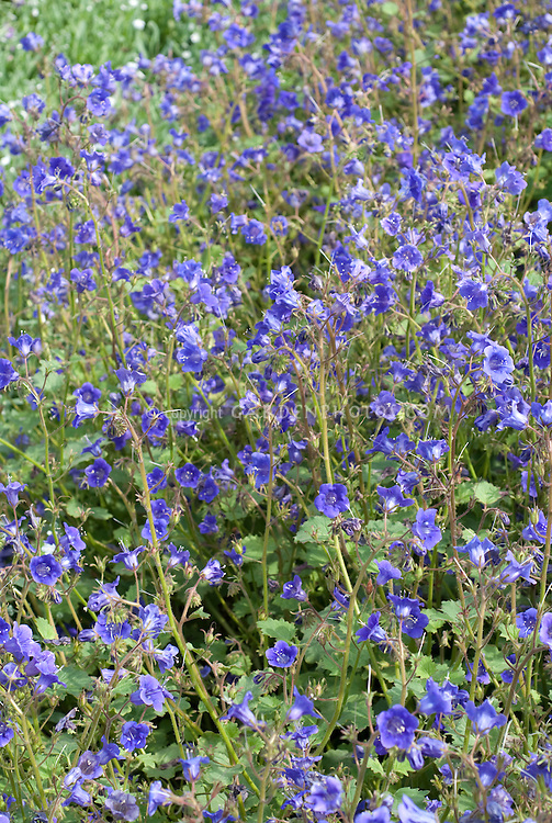 Blue flowers of annual Phacelia viscida 'Tropical Surf'