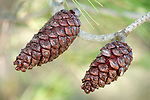 Pair of Pine Cones on tree, Sierra de Andujar Natural Park, Sierra Morena, Andalucia, Spain