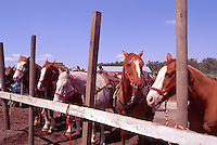 Rodeo Horses tethered to a Fence at the Cloverdale Rodeo, Surrey, British Columbia, Canada