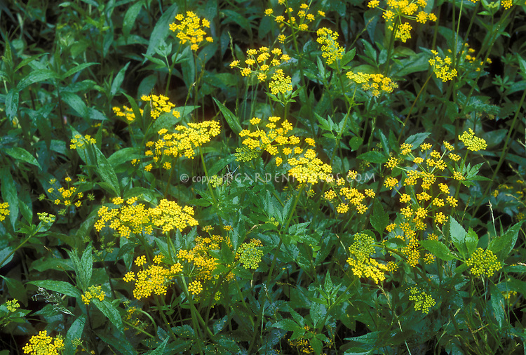 Zizia aurea 36564 L, Golden Alexander, Zizia aurea