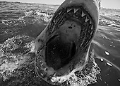 great white shark photos