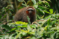 Coppery or Red Titi Monkey (Callicebus cupreus), Amacayacu National Park, Colombia