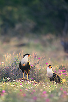 411587034 a wild pair of northern crested caracaras caracara cheriway in a field of wildflowers in the Rio Grande Valley, Texas.