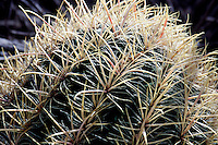 CACTUS FERO<br /> Spines On Barrel Cactus<br /> The pleated shape of the barrel cactus allows it to expand when it rains and store water in its spongy tissue. It shrinks in size during dry times as it uses its water. Grand Canyon
