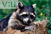 A Raccoon ,Procyon lotor, Atchafalaya Basin, Louisiana