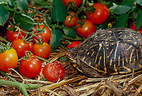 Box turtle eating ripe cherry tomatos in summer vegetable garden, Missouri USA