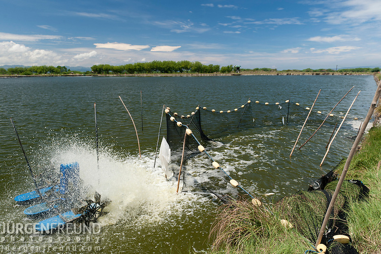Mechanized soy based pellet feeder and throws it into the fishpond full of voracious eating bangus milkfish(Chanos chanos). This pond doubles up as a shrimp farm which is compatible in feeding habits.