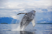 pu0414-D. Humpback Whale (Megaptera novaeangliae) breaching. Alaska, USA, Pacific Ocean..Photo Copyright © Brandon Cole. All rights reserved worldwide.  www.brandoncole.com..This photo is NOT free. It is NOT in the public domain. This photo is a Copyrighted Work, registered with the US Copyright Office. .Rights to reproduction of photograph granted only upon payment in full of agreed upon licensing fee. Any use of this photo prior to such payment is an infringement of copyright and punishable by fines up to  $150,000 USD...Brandon Cole.MARINE PHOTOGRAPHY.http://www.brandoncole.com.email: brandoncole@msn.com.4917 N. Boeing Rd..Spokane Valley, WA  99206  USA.tel: 509-535-3489