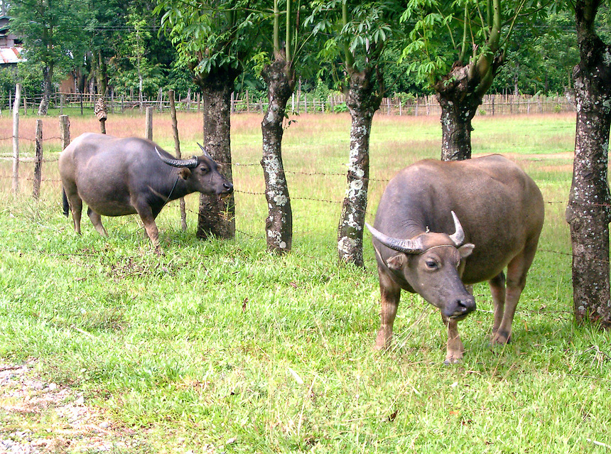 Buffaloes near rice farm