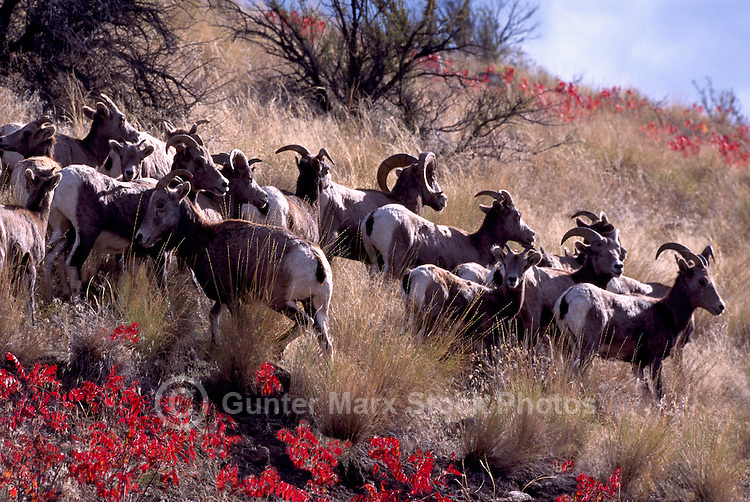 California Bighorn Sheep (Ovis canadensis sierrae) Herd in Vaseux Lake Conservation Area, South Okanagan Valley, BC, British Columbia, Canada
