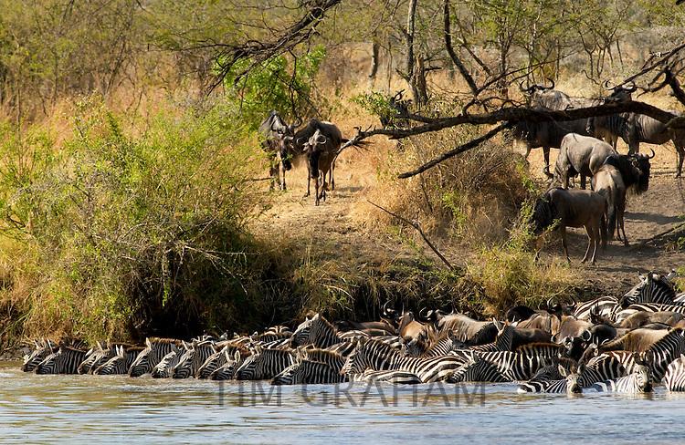 A herd of Common Plains Zebra (Grant's) drinking,  Grumeti, Tanzania