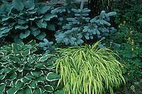 Hosta Francee, blue hostas, Hakonechloa grass, blue spruce, trees, grasses, Corydalis, perennials in garden use plantings