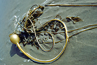 Dead Bull Kelp (Nereocystis luetkeana) on Sandy Beach, Queen Charlotte Islands (Haida Gwaii), Northern BC, British Columbia, Canada