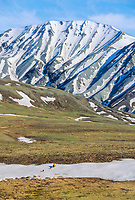 Grizzly bear sow and spring cubs cross snow patch in tundra, Denali National Park, Alaska