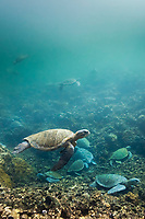 Underwater scene of Galapagos Green sea turtles swim in a sheltered cove on Isabella Island, Galapagos Islands, Ecuador.