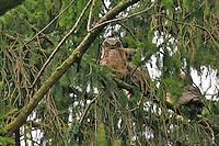 Horned owls at Whitaker Ponds in Portland Oregon