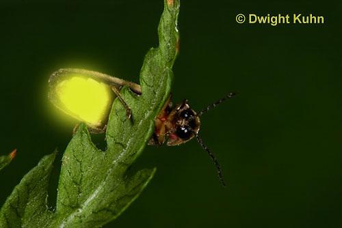 1C24-779p   Pyralis Firefly, Lightning Bug Male,  Photinus spp.