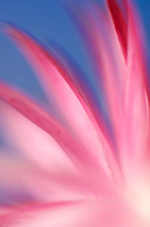 close-up of a pink strawflower
