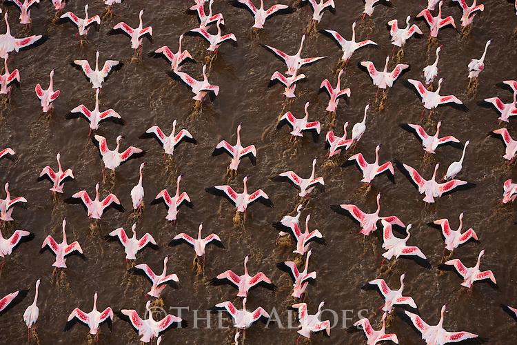 Kenya, Rift Valley, lesser flamingos taking off at Lake Bogoria