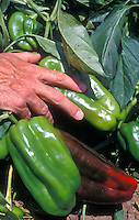 "Pepper Peto Wonder with man's hand for scale - very large vegetables can grow to 8"" long"