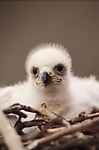A Golden Eagle eaglet sits in its nest, Alaska