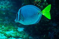 Razor Surgeonfish (Prionurus laticlavius) swimming, close-up, underwater view,, Ecuador, Galapagos Archipelago