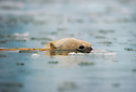 Polar bear (Ursus maritimus) swimming low in the water, Spitsbergen, Svalbard
