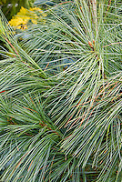 Pinus wallichiana Densa Hill pine tree