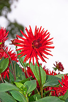 Dahlia Alva's Doris, SS-c AGM, red upright cactus style flower against white background, with leaves foliage, could make good Christmas time holiday card background