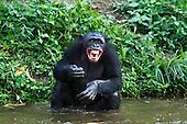 Bonobo mature male sitting in water and calling (Pan paniscus), Lola Ya Bonobo Sanctuary, Democratic Republic of Congo.