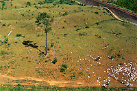 Cattle in degraded pasture, former rainforest with lone Brazil nut tree left. Railroad from Carajs iron mine to Itaqui port in Maranhao State at top right.