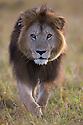 Male lion (Panthera leo) approaching in dry grassland, Maasai Mara, Kenya